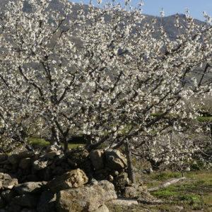 rutas 4x4 y visitas guiadas cerezo en flor valle del jerte