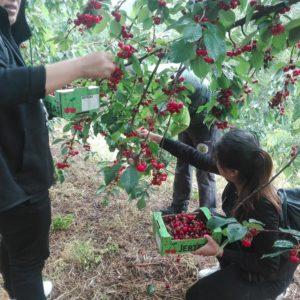 recogida-cerezas-valle-del-jerte