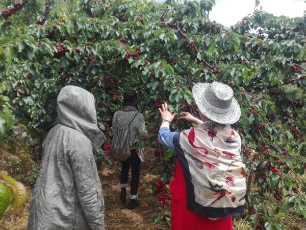 recogida de cerezas y agroturismo valle del jerte
