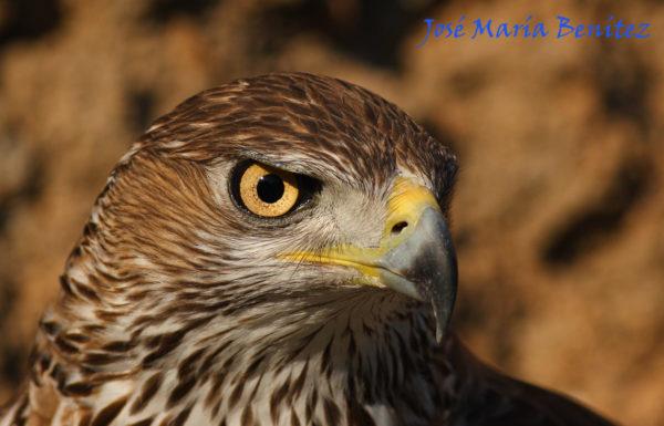 rutas 4x4 observación de aves águila perdicera