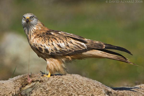 birdwatching en monfrague